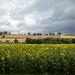 Oxton Sunflower Fields by phil_howcroft