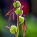 Canna Seed Pods by kvphoto