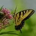 Swallowtail on Milkweed by kareenking