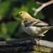 Golden Bird by redy4et