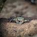 Crab by nicoleweg