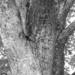 Tree Texture in B&W