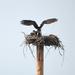 Osprey On Its Nest
