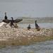 Cormorants and Ducks