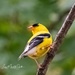 Goldfinch in Minnesota