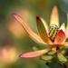 Leucadendron by ludwigsdiana
