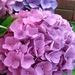 Hydrangeas  by julie
