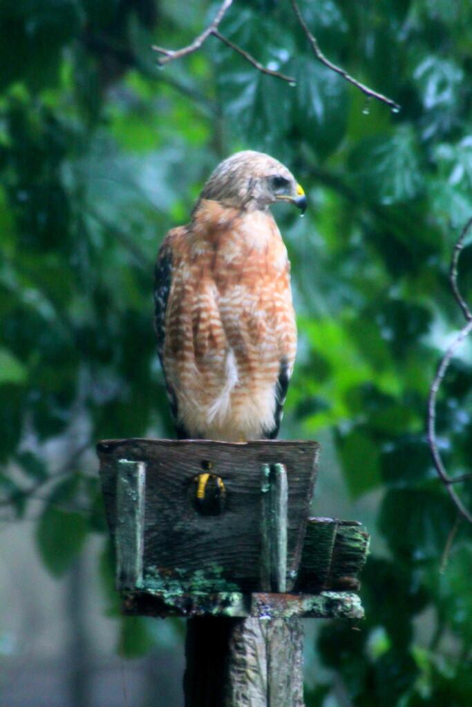 Hawk by vernabeth