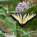 Tiger Swallowtail by falcon11