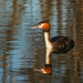 Australasian crested grebe by maureenpp