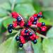 The peony fruit  by haskar