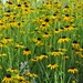 Black Eyed Susans by mittens