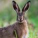 Sociable Hare by stevejacob