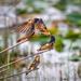 Mom feeding juvenile barn swallows by dridsdale