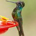 Magnificent Hummingbird by cwbill