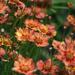 Coreopsis in the Garden by 365projectmaxine