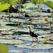 Comb-Crested Jacana by leestevo