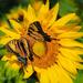 Butterfly Wars by lesip