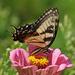 Tiger Swallowtail nectaring by annepann