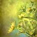 Splash of yellow by samae