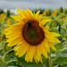 Sunflower by phil_howcroft