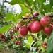 Apples by okvalle