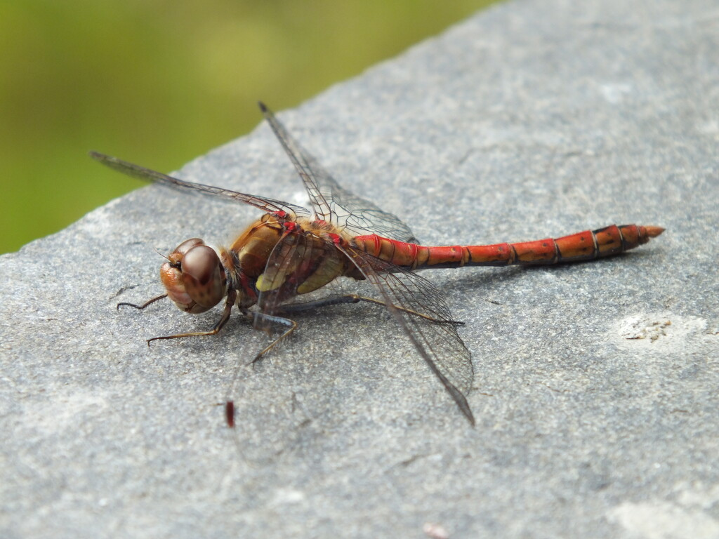 red dragonfly by jaycrow