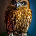Boobook owl. by gamelee