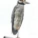 One-legged Night Heron by danette