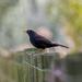 Blackbird by yorkshirekiwi
