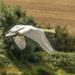 Swan Fly-By by shepherdmanswife