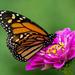 Monarch by cwbill