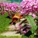 Hummingbird Clearwing Moth by ljmanning