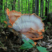 Chicken of the Woods, View 3 by juliedduncan