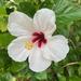 White hibiscus by monicac