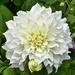 White Dahlia by tonygig