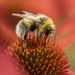 Lunching on Echinacea (Cone Flower) by shepherdmanswife