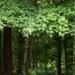 Sweet gum trees... by marlboromaam