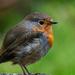 garden robin by stevejacob
