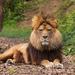Barbary Lion by peadar