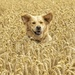 Lost in the Wheat by shepherdmanswife