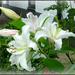 white lily by gijsje