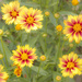Coreopsis by skipt07