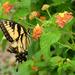 Yellow swallowtail on lantana