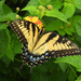 Yellow swallowtail by homeschoolmom