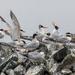 Elegant Terns  by nicoleweg