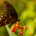Another Unknown Butterfly! by rickster549