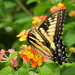 Yellow swallowtail butterfly by homeschoolmom