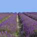 Lavender skyline by pistonbroke