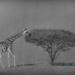 kameelperd by mv_wolfie